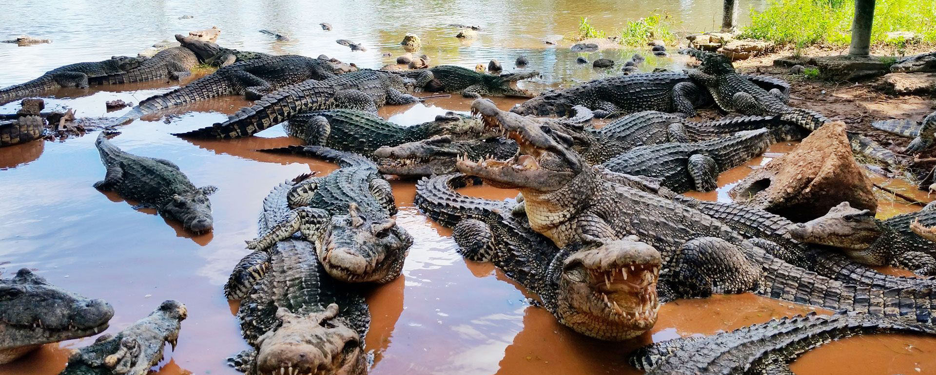 Crocodiles in Cienaga de Zapata